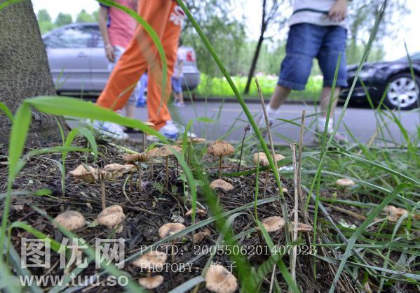 梅雨季节 路边的蘑菇不要采